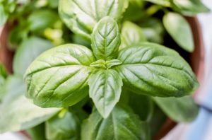 The image shows a basil plant