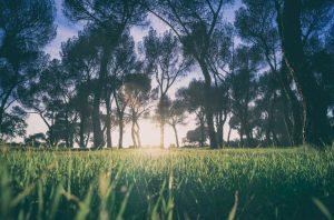 Zorro zoysia grass
