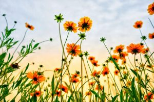 cosmos flower meaning