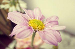Cosmos flower symbolism