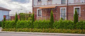 Thuja Plicata Virescens