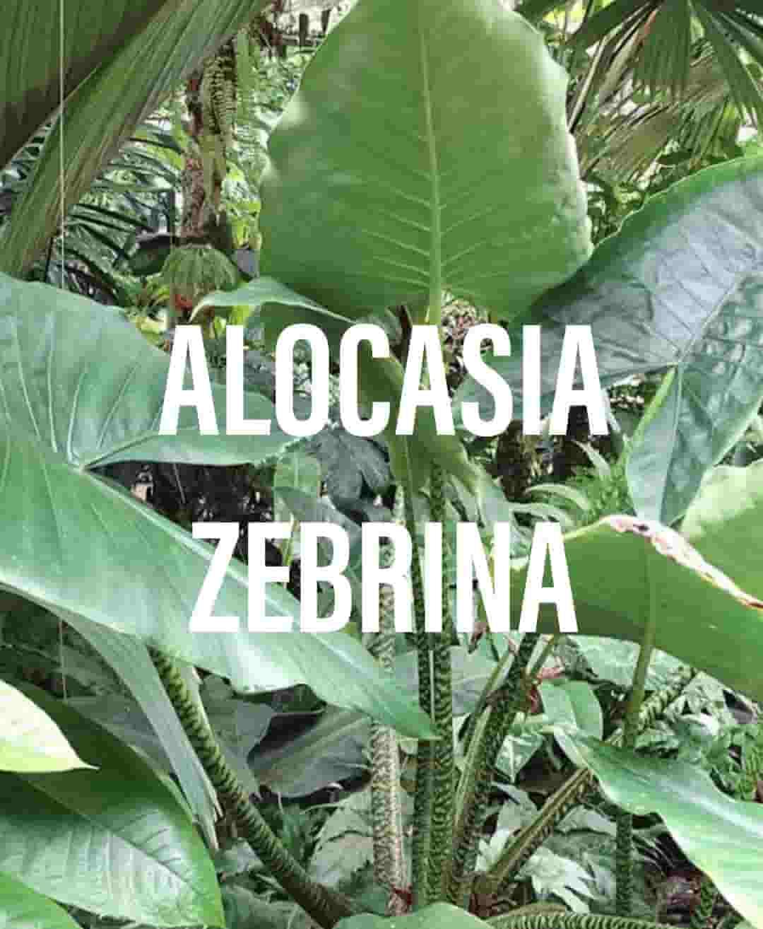 Alocasia Zebrina The Elephant Ear Plant Gardening Brain