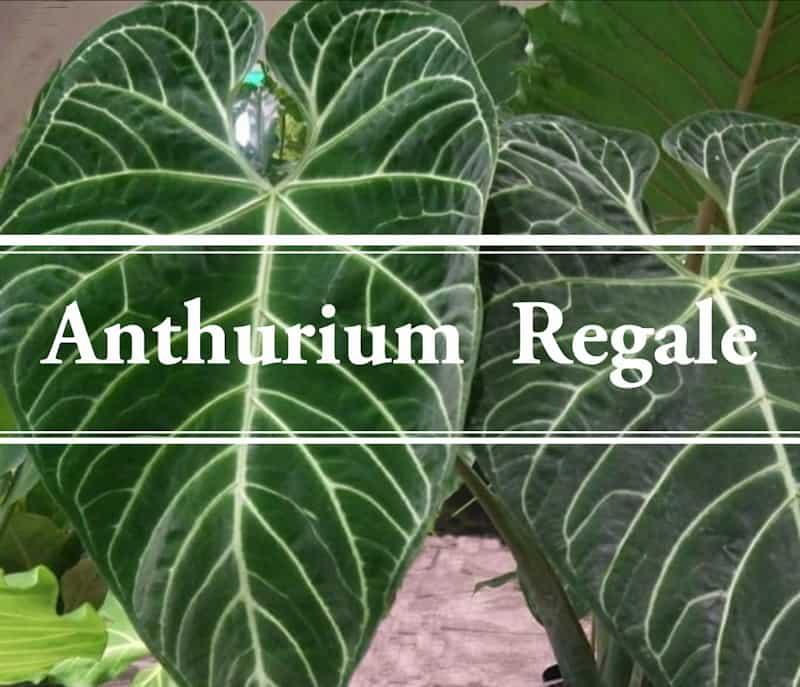 Anthurium Regale The Large Leaf Aroid Gardening Brain