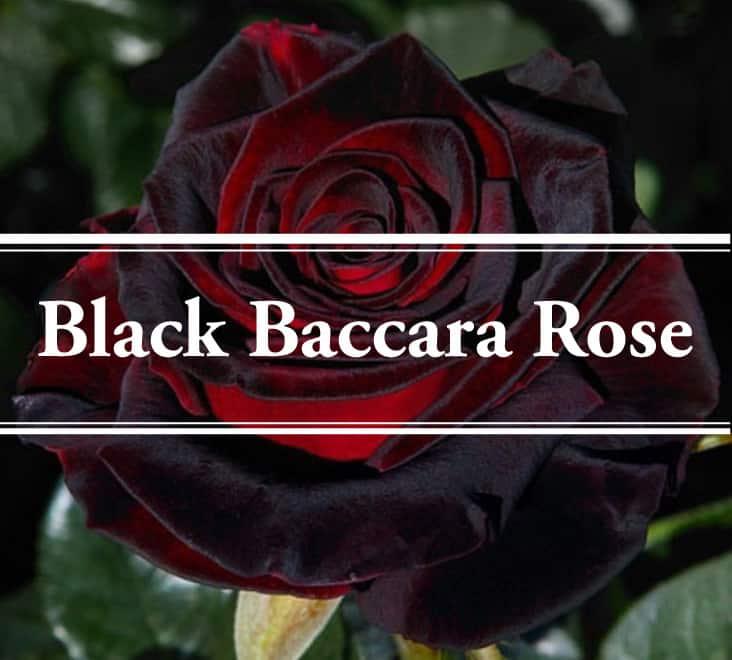 Black Baccara Rose Mesmerizingly Beautiful Gardening Brain,Lovebirds As Pets