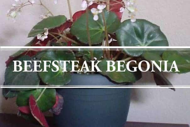 Beefsteak Begonia Begonia Erythrophylla Gardening Brain