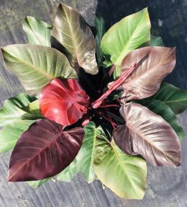 Philodendron mccolley's finale