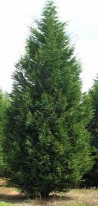 Murray Cypress
