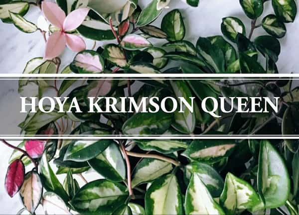 Krimson Queen Hoya carnosa trilcolor Wax Plant variegated