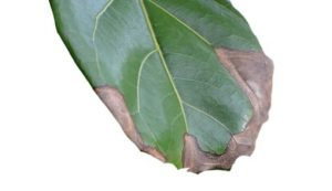 Fiddle-leaf fig brown spots