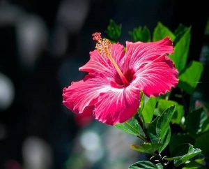 Hibiscus meaning