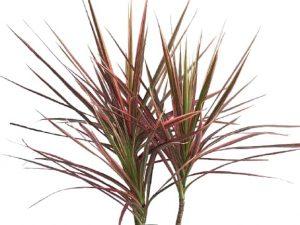 dracaena colorama